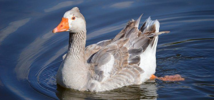 Duck Là Gì? Đặc Điểm Và Giá Trị Của Chúng Trong Cuộc Sống
