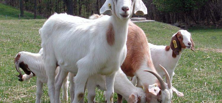 Goat Là Gì? Ý Nghĩa Lịch Sử Của Goat Trong Văn Hóa