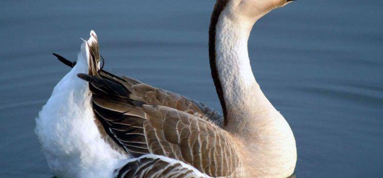 Goose Là Gì? Những Điều Thú Vị Về Goose