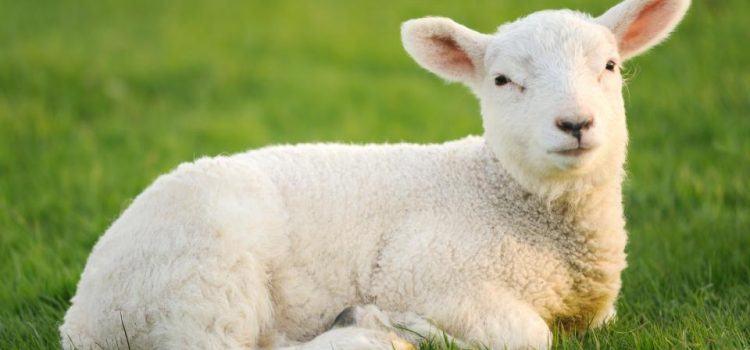 Lamb là gì? Đặc Tính Của Lamb
