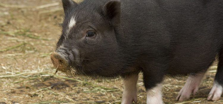 Pig Là Gì? Sự Khác Biệt Giữa Pig Với Swine, Pork, Hog Và Sow
