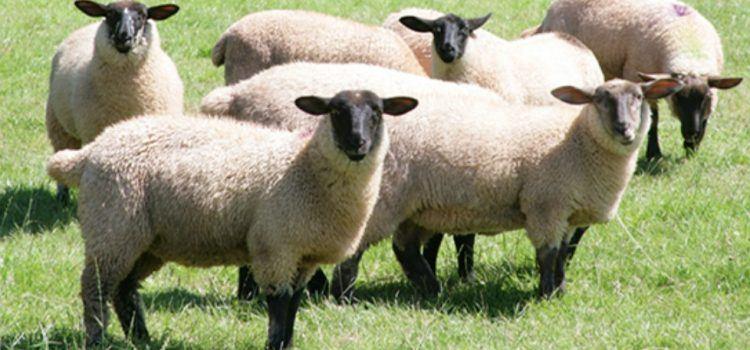 Sheep Là Gì? Lợi Ích Quan Trọng Của Sheep Đối Với Con Người